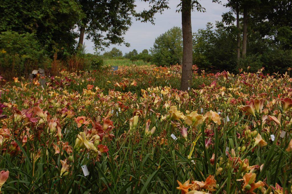TrueNorth Daylilies, Warkworth, Trent Hills Ontario