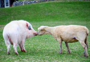 pig and goat at Promised Land animal sanctuary in Trent Hills Ontario